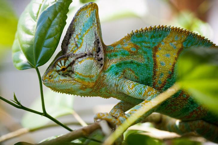 Jak wygląda kameleon?