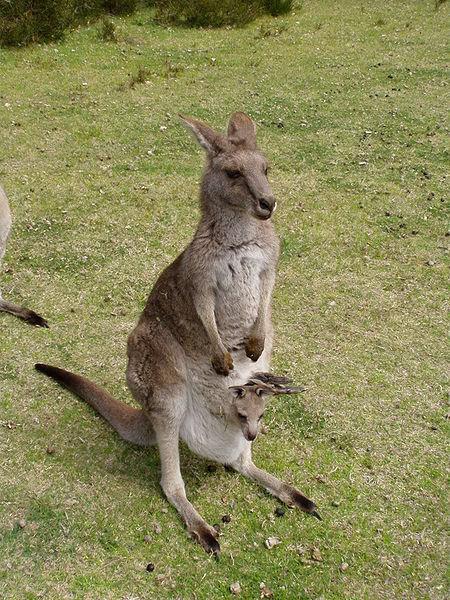 1. Kangur (ang. kangaroo) – najsłynniejsze australijskie zwierzę i czołowy przedstawiciel torbaczy. Ma charakterystyczną torbę i duże tylne nogi zakończone długimi wąskimi stopami oraz umięśniony ogon, których używa w czasie dwunożnego chodu i skoków.