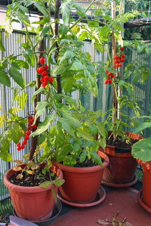 Pomidory koktajlowe możesz uprawiać na balkonie w doniczkach albo w skrzynkach.