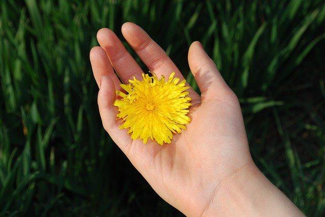 10. Mniszek lekarskiPrzyzwyczaiłaś się na pewno do widoku rosnących w trawie mniszków lekarskich, powszechnie znanych jakodmuchawce. Herbata z mniszka lekarskiego różni się od tradycyjnej czarnej lub zielonej. Herbaty ziołowenie zawierają kofeiny a pod względem odżywczym, zarówno tradycyjne jak i ziołowe herbaty zawierają mnóstwozdrowych składników. Herbata z mniszka lekarskiego jest dobra zwłaszcza dla skóry, gdyż zawiera dużą dawkęantyoksydantów i właściwości wspomagających odporność – dzięki niej zachowasz zdrowie i młody wygląd skóry.